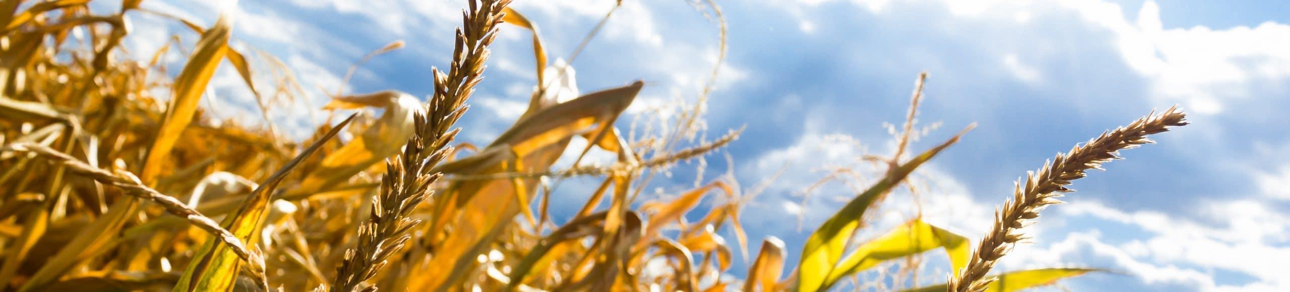 Dürre Weizen Feld Ernte Landwirtschaft