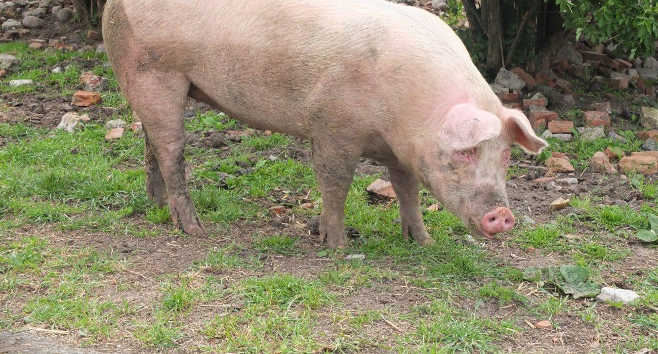 Landwirtschaft Tiertransporte Schwein