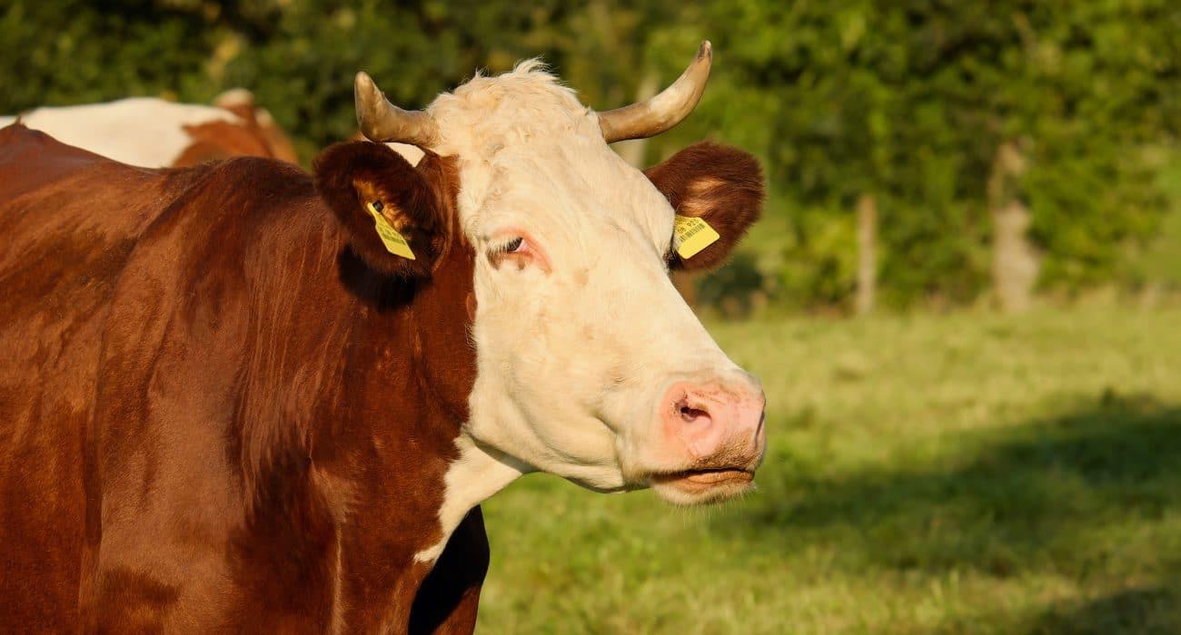 Landwirtschaft Kuh Vieh Fleisch Schlachthof